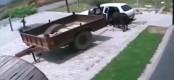 Video: Απαγωγή αγελάδας με …αυτοκίνητο